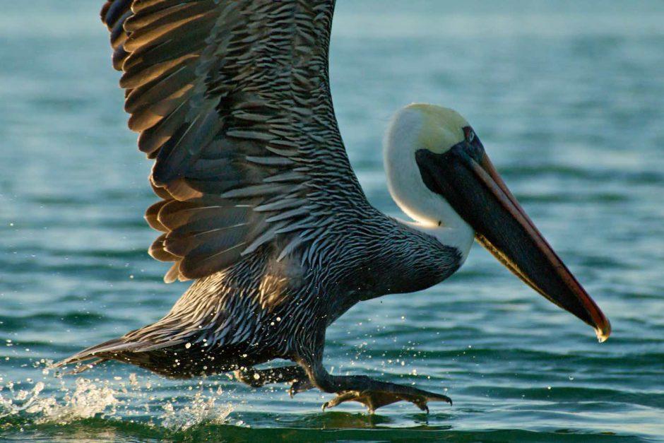 Kleurfoto van een pelikaan bij valavond
