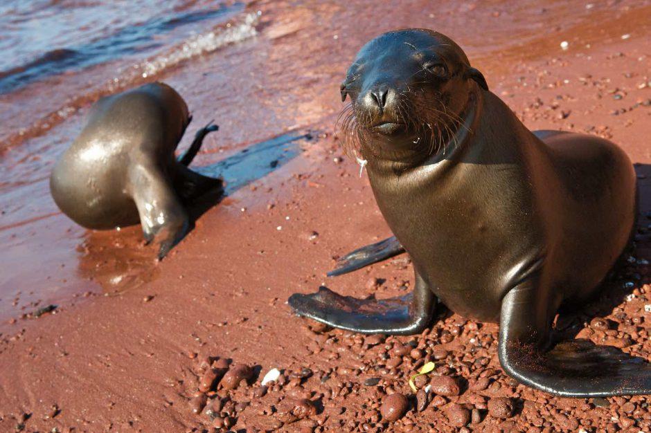Kleurfoto van poserende zeeleeuwjongen