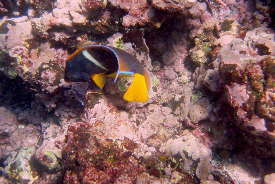 Kleurfoto van een king angelfish