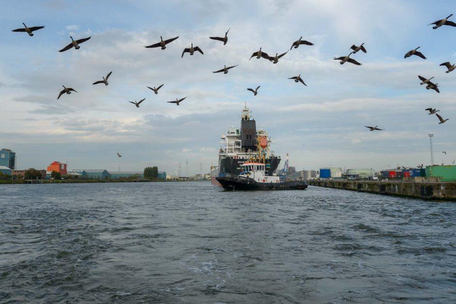 Kleurfoto van opstijgende Canadese ganzen boven de Gentse haven